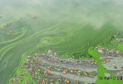 琵琶湖に発生「アオコ」とは?