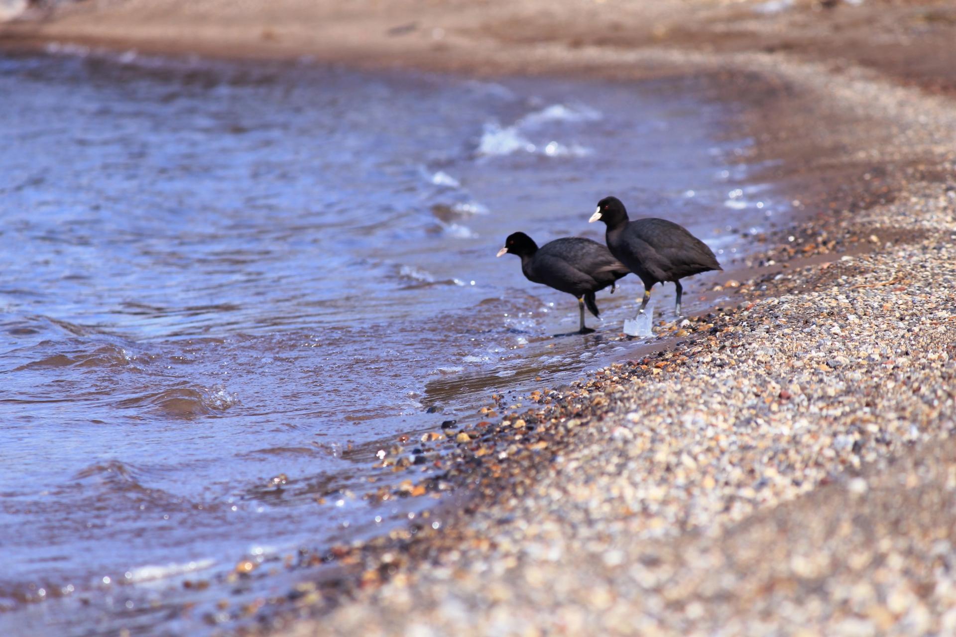 琵琶湖のヌシ?!水鳥「オオバン」