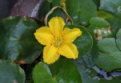 滋賀県レッドリストで絶滅危惧種に指定 水草「アサザ」