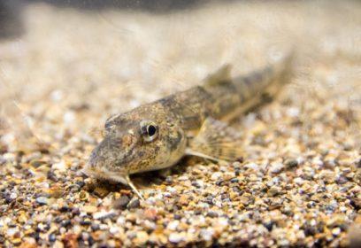 2019年発見された「カマツカ」の新種  琵琶湖に住む「ナガレカマツカ」